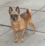Click here to find out more about Jilly  (Chihuahua)