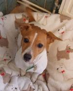 Emily xx (Jack Russell)