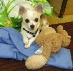 Click here to find out more about Murphy xx (Chihuahua)