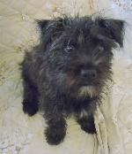 Click here to find out more about Molly xx (Westie /...)